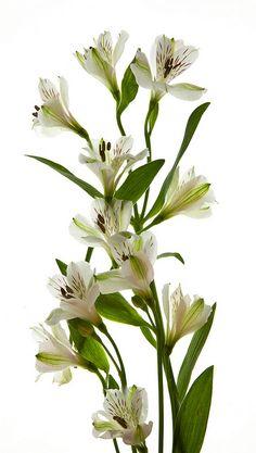 White Alstroemeria, $35 for 50 stems!!!