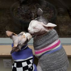 Leo and Missy got all dressed up in their new sweaters, shared a can of Tuna Feast, gazed out the window for a while, and stole a kiss or two. Cute Animals Kissing, Baby Animals, Animal Hugs, My Animal, Crazy Cat Lady, Crazy Cats, Devon Rex Cats, Cornish Rex Cat, Sphinx Cat