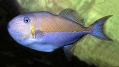 Golden Back or Blue-lined triggerfish