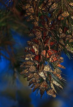 Migrating Monarch Butterflies  Image: Beth Sargent