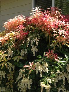 Pieris Japonica 3-13' tall evergreen foliage, with white trails of lily-of-the-valley-like flowers in spring that fade to pink.