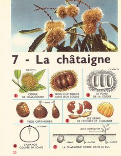 Leçons de choses 1964 : la châtaigne How To Speak French, Learn French, Autumn Activities, Activities For Kids, Primary Science, Multiplication For Kids, Preschool Education, Vintage School, Forest School