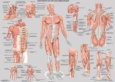 Anatomische Posters