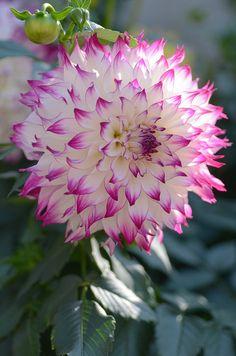 """Une superbe fleur de  """"dahlia""""...."""