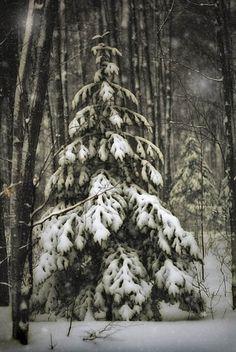 winter photograph fir tree print snow home by judeMcConkeyPhotos, $10.00