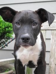 Benji is an adoptable Black Labrador Retriever Dog in South Orange, NJ. Benji is an adorable, curious mixed breed puppy, about 6 months old who is waiting patiently for his new home. He came to the Je...