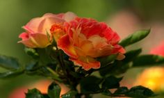 draugiem.lv Rose Photos, Flowers, Plants, Plant, Royal Icing Flowers, Flower, Florals, Floral, Planets