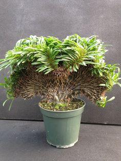 Pachypodium lamerei crested Madagascar Palm, Purple Plants, Shade Garden, Succulents, Indoor Gardening, Cactus Plants, Succulent Plants, Interior Garden