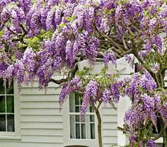 """Purple """"Cooke's special"""" wisteria. Planted this last year to climb around my patio! Can't wait for the blooms this year!"""