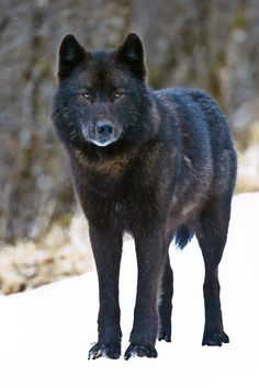 """An Alexander Archipelago wolf, found only in southeast Alaska. (Robin Silver / April 7, 2008)"""