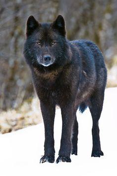 An Alexander Archipelago wolf, found only in southeast Alaska. (Robin Silver / April 7, 2008)