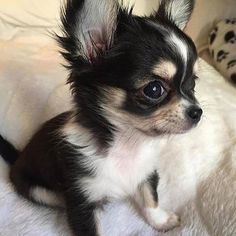 Things that make you go AWW! Like puppies, bunnies, babies, and so on. A place for really cute pictures and videos! Cute Little Animals, Cute Funny Animals, Little Dogs, Chihuahua Love, Chihuahua Puppies, Chihuahuas, Beautiful Dogs, Animals Beautiful, Really Cute Dogs