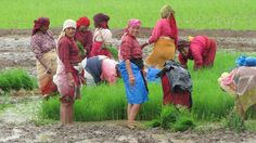 Since ancient times  the women of communities throughout Nepal have had the honor of planting  rice. When the time comes the men harvest the rice. Come be a part of an important Nepali tradition. Join the family! #ropain #family #tradition #newari #farmers #women #friends #travel #heritage #nepal #khokana #responsibletravel #greentravel