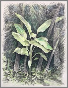 "Travel Drawing: Yabbiekayu Palm, Yogyakarta, Java, Indonesia Prismacolor Pencil on Paper 15"" x 11"" 2017 Travel Drawing, Yogyakarta, Palm, Prismacolor, Drawings, Artwork, Plants, Sketch, Work Of Art"