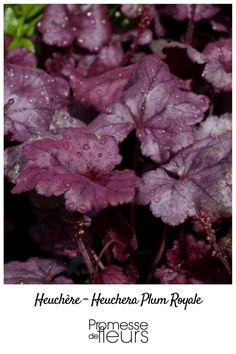 L'Heuchera Plum Royale dispose d'un magnifique feuillage brillant, pourpre argenté veiné de pourpre foncé. Au cours de l'été, de petites fleurs blanches en clochette s'épanouissent le long d'une tige pourpre foncé formant un contraste très esthétique.