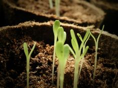 Citroenmelisse kweken, standplaats, verzorgen, vermeerderen en oogsten - Tallsay.com