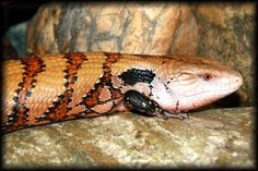 Deer Fern Farms Uromastyx bLUETONGUE SKINK Page