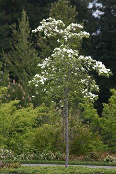 Stewartia pseudocamellia aka Japanese Stewartia small