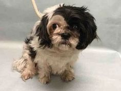 Photo: FRIENDLY & PLAYFUL~ROXY Manhattan NY Rescue Only TO BE DESTROYED DEC 8 Roxy is a 5 year old Shih/Tzu Mix. She was bought from a breeder 3 years ago. The main reason for surrender is that the owner is sick and cannot properly care for her. Roxy is shy around strangers for a few minutes and then warms up to them. Roxy plays exhuberantly with the owner. Roxy is best described as friendly, affectionate and playful. Roxy follows you around at home. She likes to play with socks. Roxy enjoys…