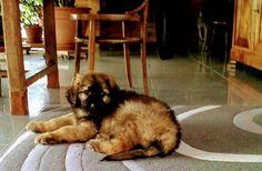Iwa notre léonberg à l'age de 3 mois Age, Animals, 3 Months, Home, Animales, Animaux, Animal, Animais