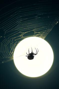 Moonlit spider