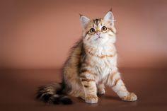 低アレルゲン? 犬のような性格? シベリア猫とも呼ばれるサイベリアンの特徴|みんなのペットライフ