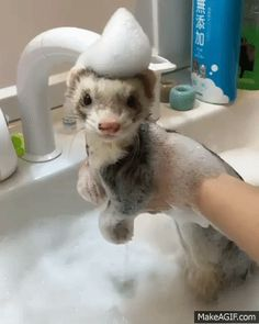 "How to ferret part 4 ""bubble baths"" Ferrets Care, Cute Ferrets, Cute Funny Animals, Cute Baby Animals, Animals And Pets, Pet Ferret, Amor Animal, Cute Creatures, Animals Beautiful"