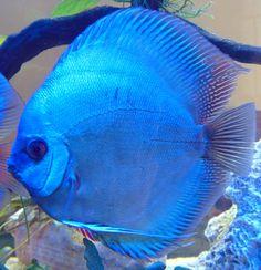 Aquariums, Discus Aquarium, Discus Fish, Beautiful Tropical Fish, Beautiful Fish, Animals Beautiful, Tropical Freshwater Fish, Freshwater Aquarium Fish, Acara Disco