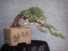 Bonsai Northside Nursery » Photo Gallery  I can easily imagine this tree perched on a mountainside, the unrelenting wind pulling the tree toward the valley below. http://www.misho-of-the-mountain.com