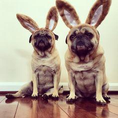Easter Bunny Pugs 2014 - Follow us on Instagram: @zoereagan