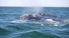 Check Out the Mendocino Whale Festival and Others Like It | Sea Rock Inn | Mendocino, CA