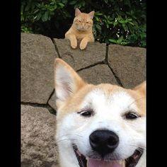 柴犬と猫 Shiba Inu and Japanese cat - saying hi!
