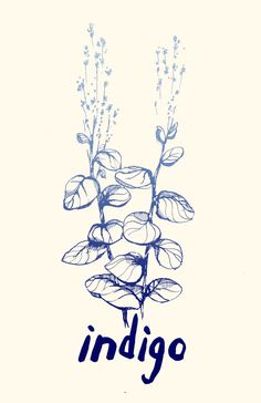 Artist Graham Keegan is crowd sourcing an indigo project here in Los Angeles. You can help out by adopting indigo seedlings and growing them out--then harvesting the leaves and joining the other growers for a couple of indigo dyeing fiestas. Indigo Plant, Indigo Dye, Indigo Flower, Plant Tattoo, Artist Journal, Plant Drawing, Plant Art, Art Graphique, Blue Aesthetic