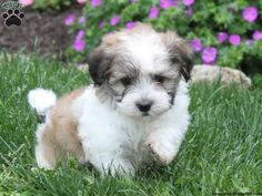 Charlie, Havanese puppy for sale from Quarryville, PA - Greenfield Puppies