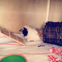 Woolly is definitely the cutest Guinea pig ever.  #cavia #fluff #sheep #baby #guineapigbaby #guineapiglover #guineapigsofinstagram #cavyoftheday #caviesoninstagram #pets_perfection #guineapigposts101 #weeklyfluff #dailyuff #petscorner