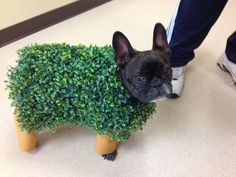 French Bulldog in a 'Chia Pet' costume.