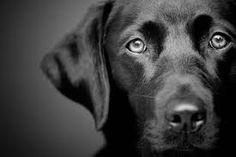 Zwarte labrador in de studio