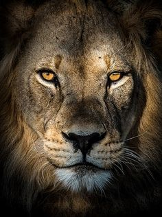 Among the amazing shots already handed over to judges is a spectacular portrait of a Kalahari lion with sunshine illuminating its golden eyes