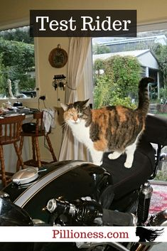 Calliope the motorcycle cat loves riding the bike. As long as the engine is off and the bike is inside. Cat Love, Biker, Motorcycles, Engineering, Cats, Funny, Gatos, Kitty Cats, Biking
