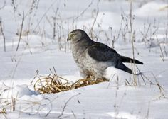 Northern harrier at Springfield Bog Metro Park, photo by Metro Parks volunteer Jerry Cannon
