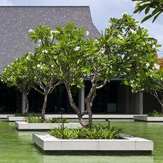 intercontinental fiji golf resort and spa Tropical Garden Design, Tropical Landscaping, Backyard Landscaping, Garden Pool, Terrace Garden, Tree Garden, Plumeria Tree, Tree Planters, Pool Landscape Design