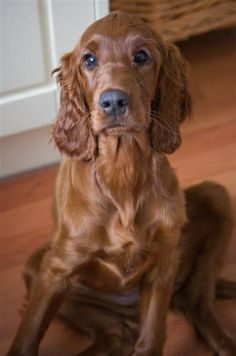 Ruby The Irish Red Setter  - love that sit -- ours would sit like this
