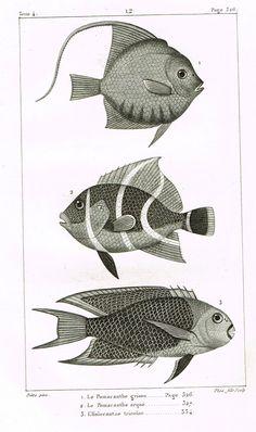 "Lacepede's Fish - ""LE POMACANTHE GRISON - Plate 12"" by Pretre - Copper Engraving - 1833"