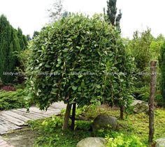 Ива козья 'Пендула' Salix caprea 'Pendula'  Плакучая   Светолюбивое   Яркая осенняя окраска   Медонос   Выносит загрязнение воздуха