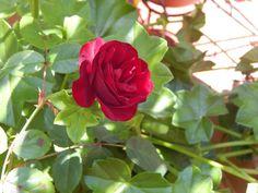 rosa+rococo+:+flores+|+ahorayya2