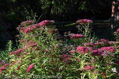 Perennial gardens love rainy days - Red Dirt Ramblings®