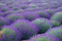 Lavender by Pedrovich Lavender Green, Lavender Fields, Lavender Flowers, Green And Purple, Purple Flowers, Lavander, Love Garden, Dream Garden, Provence