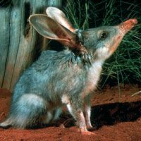 The Bilby is nocturnal & their numbers are low. Native to Western Australia.