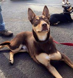 Australian Shepherds, Australian Sheep Dogs, Aussie Dogs, Cute Puppies, Cute Dogs, Dogs And Puppies, Doggies, West Highland Terrier, Scottish Terrier