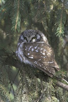 Boreal Owl In Central Park, NY -